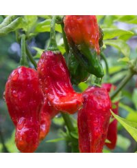 Naga Morich Red Chili Seeds