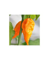 Naga Morich Yellow Chili Seeds