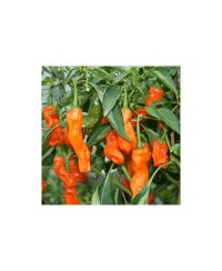 Peter Pepper Orange Chili Seeds