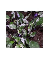 Purple Tiger Chili Seeds