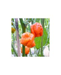 Trinidad Scorpion Moruga Chili Seeds